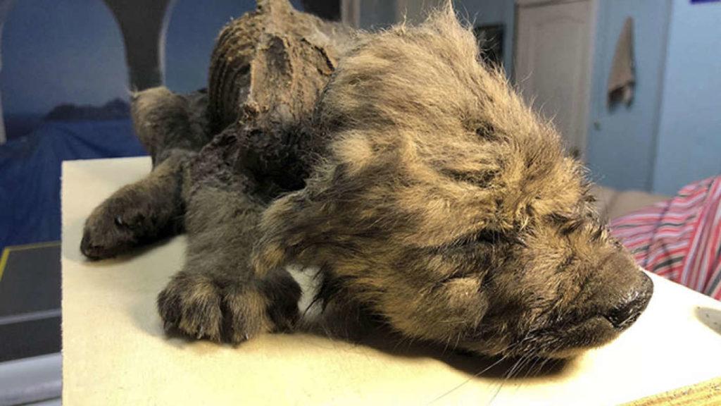 シベリアの永久凍土で『1万8000歳の子犬』が発見される | VAIENCE